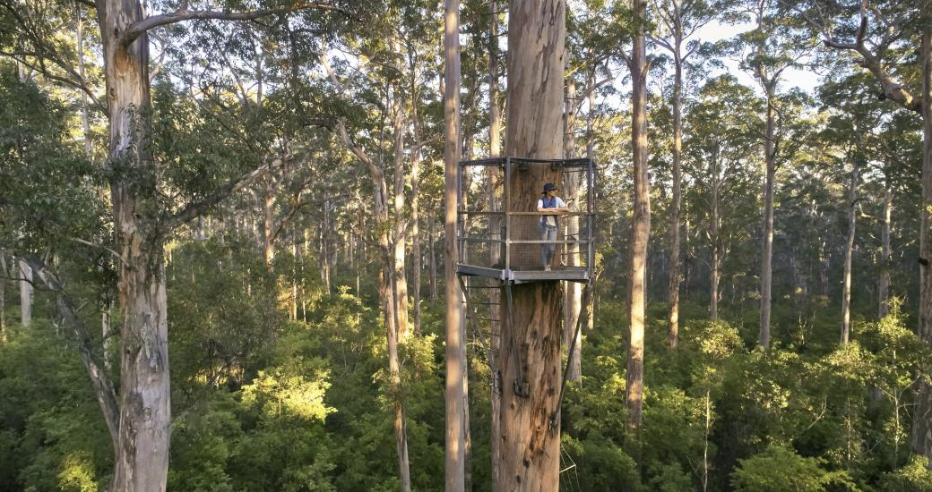 Dave Evans Bicentennial Tree - Southern Forests and Valleys