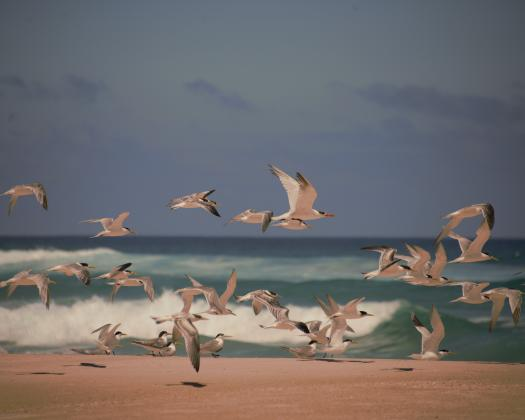 Crested terns and many other varieties of wildlife on the Yeagarup Beach