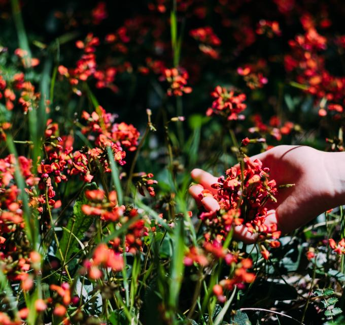 A hand reaching out to hold beautiful red flowers growing in the wild