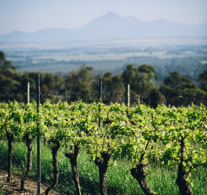 vineyard in Porongurup with Stirling Range in the background